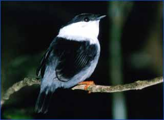 Manakin sitting on branch