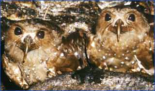 Two oilbirds on their cave ledge